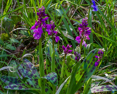 Early Purple Orchid (Orchis mascula) (BiteYourBum.Com Photography) Tags: dawnandjim dawnjim biteyourbum biteyourbumcom copyright©2019biteyourbumcom copyright©biteyourbumcom allrightsreserved uk unitedkingdom gb greatbritain england canoneos7d canonefs60mmf28macrousm canonef1740mmf4lusm canonmacrotwinlitemt26exrt apple imac5k lightroom6 ipadair appleipadair camranger lrenfuse focusstacking manfrotto055cxpro3tripod manfrotto804rc2pantilthead loweproprorunner350aw sussex westsussex southdowns southdownsnationalpark wassellmillhanger ebernoe earlypurple orchid orchis mascula earlypurpleorchid orchismascula