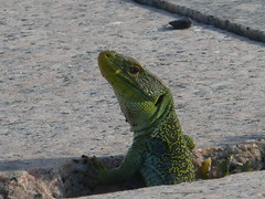 P1060195 (jesust793) Tags: reptil reptiles lagarto