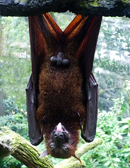 Showing Off (Steve Taylor (Photography)) Tags: bat tongue black brown green asia singapore branch down zoo leather fruitbat upsidedown
