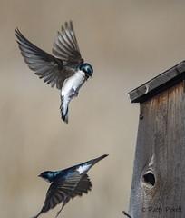 tree swallow (Pattys-photos) Tags: tree swallow marketlakewildlifemanagementarea idaho pattypickett4748gmailcom pattypickett