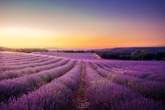 Brihuega lavender fields, Spain (jesbert) Tags: brihuega spain españa lavanda lavender sunset atardecer flores flowers campos fields jesbert rodriguez sony a7r2
