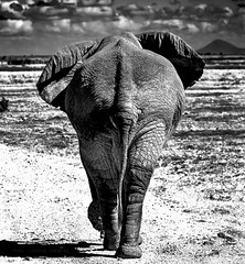 bye tembo (Amboseli) b&w (Tavernero) Tags: elephant animal wild wildlife wildphotografy salvaje elefanta kenia africa amboseli nikon blanco y negro bw
