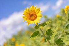 Sunflower (Michael Seeley) Tags: canon earthdayflorida field landscape mikeseeley sunflowers
