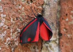 inflating the wings (Johnson Cameraface) Tags: 2019 april spring olympus omde1 em1 micro43 mzuiko 60mm macro f28 johnsoncameraface cinnabarmoth cinnabar moth dayflying wall