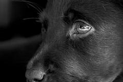 DSC_0602 - Version 2 (melvindruce) Tags: d7100 dog 50mm 18mm cici eye lab