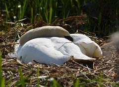testing the nest (simon edge) Tags: nikon d5100 70300mm nikkor swan nest chesterfieldcanal