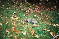Squirrel (goodfella2459) Tags: nikonf4 afnikkor50mmf14dlens fujifilmc200 35mm c41 film analog squirrel kensingtongardens london nature park gardens animal