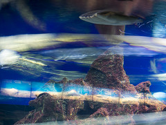 P4210010 (asferic) Tags: barcelona catalonia catalunya aquarium fauna sea