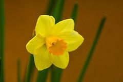 Fiorito a Pasqua (giorgiorodano46) Tags: aprile2019 april 2019 giorgiorodano narciso giallo yellow jaune flower
