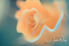 Chofu - Jindai Botanical Garden (11) (ジェイリー) Tags: 神代植物公園 tokyometropolis 東京都 sony a7r 日本 japan 調布市 じんだいしょくぶつこうえん 調布 chōfu chofu jindaibotanicalgarden 花 植物