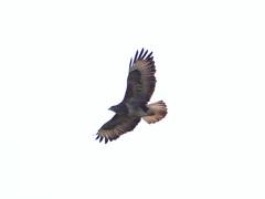 Male Buzzard (Nevrimski) Tags: male buzard flying