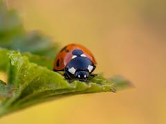 P4227167 (gert.lutter) Tags: photo macro lepatriinu fauna triinu