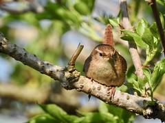 Wren (LouisaHocking) Tags: southwest cornwall england british bird wild wildlife nature wren rspb gardenbird hayle