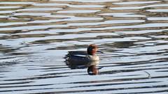 Teal (LouisaHocking) Tags: marazion southwest cornwall england british bird wild wildlife nature marsh water duck teal waterfowl wildfowl