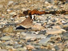Plover (LouisaHocking) Tags: wader marazion seabird southwest cornwall england british bird wild wildlife nature beach coast ocean plover