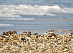 Turnstones (LouisaHocking) Tags: wader marazion seabird southwest cornwall england british bird wild wildlife nature beach coast ocean turnstone