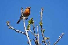 Robin (sumowesley) Tags: bird ecclesfield fauna nature robin