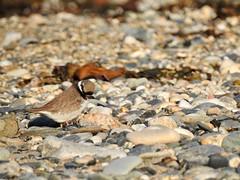 Plover (LouisaHocking) Tags: wader marazion seabird southwest cornwall england british bird wild wildlife nature beach coast ocean preening animalbehaviour plover