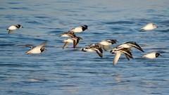 Waders (LouisaHocking) Tags: wader marazion seabird southwest cornwall england british bird wild wildlife nature beach coast ocean turnstone sanderling