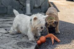 Dog toy (jrockwar) Tags: westie terrier bullmastiff dogs puppy dogtoy animals mammals pets playing sun exterior naturallighting a6000 primelens minolta 50mm manualfocus vintagelens