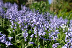 Bluebells (Conan500) Tags: flower bluebell blue sunshine summer fujifilmxt2