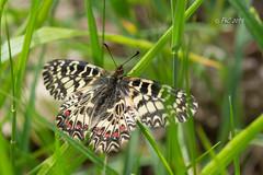 papillon Diane (Philippe30670) Tags: gard macro papillon ladiane zerynthiapolyxena papilionidaeparnassinae