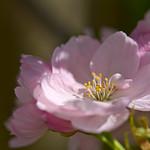 Cherry Blossom thumbnail