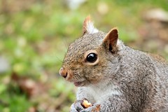 Gray Squirrel (BSendelbach) Tags: squirrel backyardwildlife graysquirrel mammals