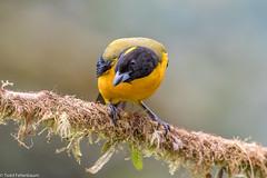 CA3I1502--Black-chinned Mountain Tanager (tfells) Tags: anisognathusnotabilis blackchinnedmountaintanager bird wildlife nature amagusa ecuador southamerica