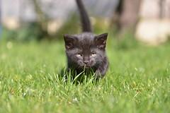 Le petit félin (pontfire) Tags: cat cats chat chats minou katze kate gato felin animal animals animaux chaton