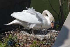 Proud mother Swan (CapMarcel) Tags: proud mother swan nest hidden harbour