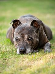 P4222398 (TDG-77) Tags: olympus omd em1 mark ii 40150mm f28 staffie staffordshire bull terrier dog