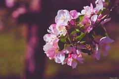 Fleurs de pommier (Le dahu) Tags: nature flowers pink color colorful colour colourful apple tree beautiful spring plant d610 darktable nikon tamron 90mm
