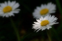 The Daisy Trio (padge83) Tags: nikon d5300 daisy bokeh macro trio