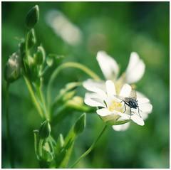 ...die kleinen Dinge... (***étoile filante***) Tags: wiese meadow plants pflanzen flower blume fliege fly insect insekt natur nature