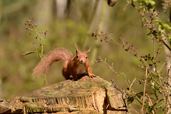CARNIE REDS (Donald Douglas) Tags: carnie red squirrel woods