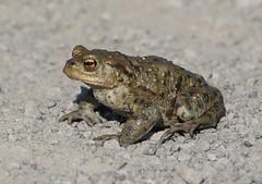 Common Toad (Bufo bufo) (MarkWalpole) Tags: commontoad toad bufobufo saltholme rspb uk canoneos7dmarkii ef400mmf56lusm