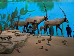 National Museum of Qatar - Doha, Qatar (fisherbray) Tags: fisherbray qatar stateofqatar دولةقطر dawlatqatar addawhah addawha addōḥa doha الدوحة google pixel2 nationalmuseumofqatar museum desertrose arabianoryx oryxleucoryx whiteoryx antelope