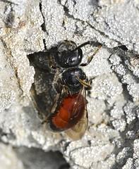 Sphecodes ephippius (lloyd177) Tags: sphecodes ephippius blood bee dorset