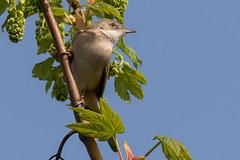 Whitethroat (Deadpanhammer) Tags: whitethroat canon7dmk2 ef400mmf56l attenboroughnaturereserve bird nature