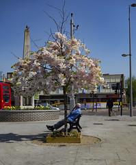 Chingford Mount, War Memorial (London Less Travelled) Tags: uk unitedkingdom britain england london eastlondon city urban suburbia suburban walthamforest chingford chingfordmount warmemorial blossom tree