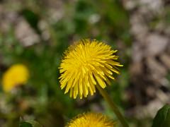 SK_19-04-22_1420278 (Stephan_66) Tags: löwenzahn eschachtal blumen flower زهرة