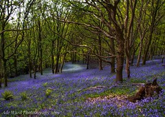Bluebell heaven (Ade Ward Phototherapy.) Tags: trees flowers scenery landscape wales colours blue seasons spring margam forest woodland sigma nikon phototherapy wildlife nature bluebells