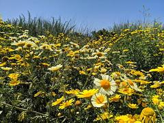 IMG_20190422_110222e (joeginder) Tags: jrglongbeach oceantrails pacific california beach rocky cliffs wildflowers hiking