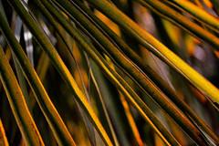 diagonals (Francis Mansell) Tags: plant leaf abstract lines grainy kew kewgardens royalbotanicgardenskew nikanalogefexpro2