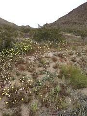 wildflowers (h willome) Tags: 2019 california desert wildflowers joshuatree joshuatreenationalpark