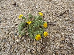 Wallace's Woolly Daisy (h willome) Tags: 2019 california desert wildflowers joshuatree joshuatreenationalpark