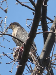 Sharp-shinned Hawk 2 (D. S. Hałas) Tags: halas hałas canada ontario haltonregion haltoncounty oakville nipegontrail chordata sarcopterygii aves accipitriformes accipitridae accipiterstriatus hawk bird