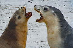 The dispute ! (Uhlenhorst) Tags: 2010 australia australien animals tiere travel reisen