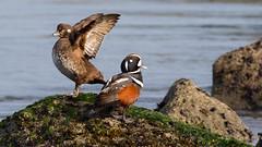 Harlequin Ducks (Gary R Rogers) Tags: bird newport harlequinduck oregoncoast drake hen pair